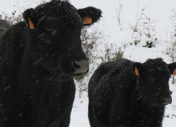 Nos Angus sous la neige